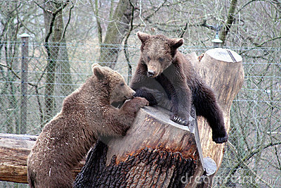 Brown bears playing, Skansen Park, Stockhol