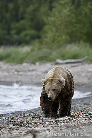 Brown Bears walking on shoreline