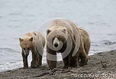 Brown Bears walking on shoreline