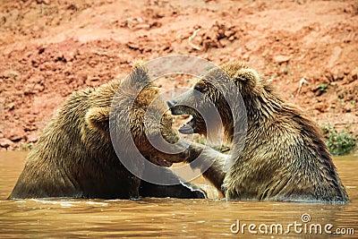 Brown bears in water