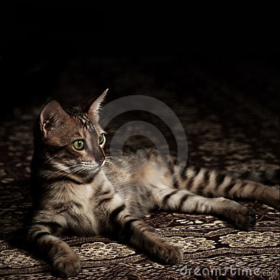 Brown bengal cat