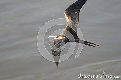 Brown Bird of Prey