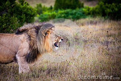 Brown And Black Lion On Brown Grass Field Free Public Domain Cc0 Image