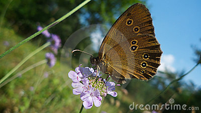 Brown black spotted butterfly feeding