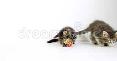 Brown Blotched Tabby e Brown Tortie Blotched Tabby Maine Coon Domestic Cat, Kittens che giocano contro White Background, Normandi archivi video