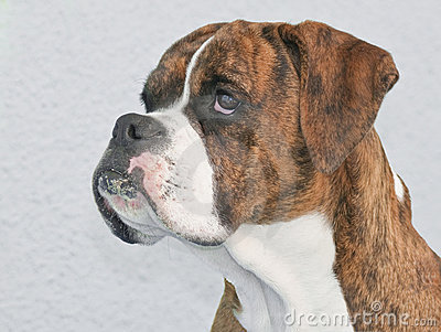 Brown Boxer Royalty Free Stock Photos - Image: 12260668