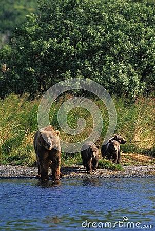 Brown-Bär mit Cubs