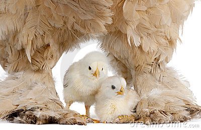 Brown Brahma Hen and her chick
