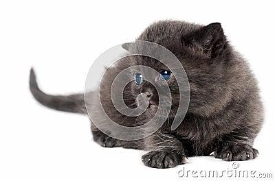 Brown british kitten
