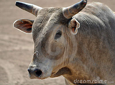Brown bull with horns