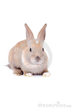 Brown bunny, isolated on white