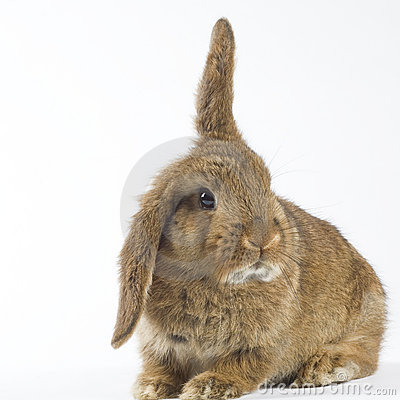 Brown bunny, isolated on white background