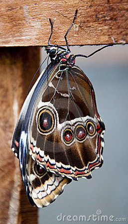 Free Brown Butterfly Royalty Free Stock Photos - 14200578