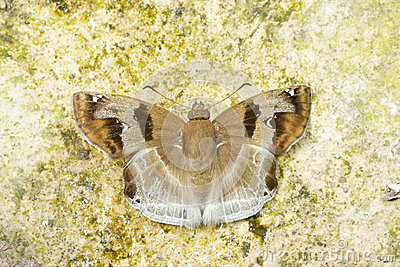 Brown butterfly (Chestnut Angle, Odontoptillum angulatum)