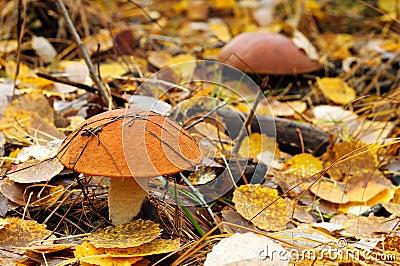Brown cap mushroom