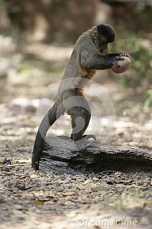 Free Brown Capuchin Or Black-striped Capuchin Or Bearded Capuchin, Cebus Libidinosus Stock Photos - 34537103