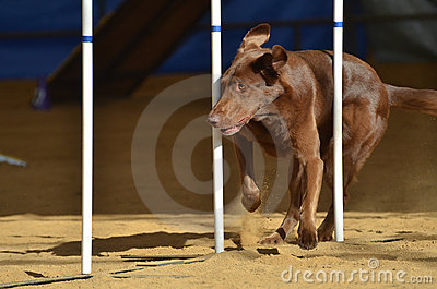 Brown Chocolate Lab at a Dog Agility Trial Editorial Photography