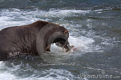 Brown Coastal Bear eating a salmon