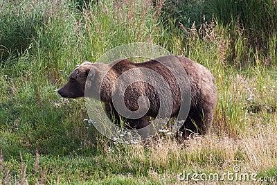 Brown Coastal Bear in grass