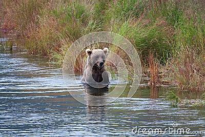 Brown Coastal Bear looking for salmon
