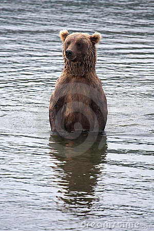 Brown Coastal Bear looking for salmon