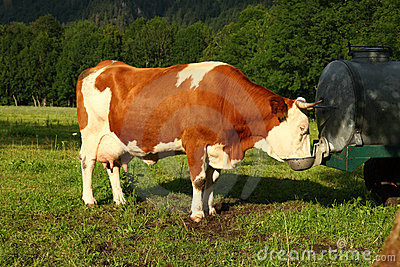 Brown cow with horns drinking