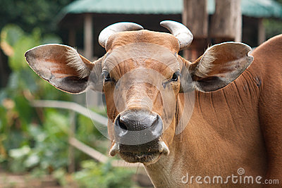 A brown cow looking at camera lense