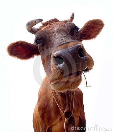 Free Brown Cow Portrait Royalty Free Stock Photo - 10116845