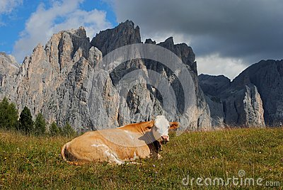 Brown cow rests in the grass with alps background
