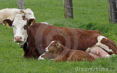 Brown cow with white face and young calf
