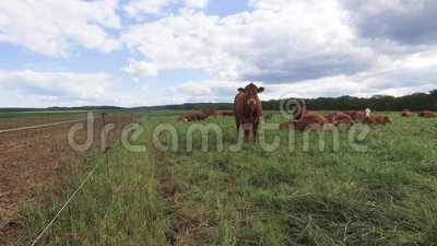 Brown Cows. On Pature in Hessen Germany stock footage