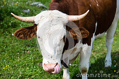 Brown Cow�s Head