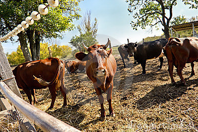 Brown cows on a meadow