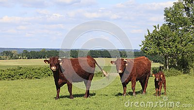 Brown cows in Normandy