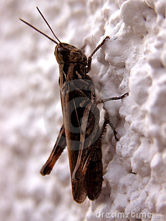 Brown cricket