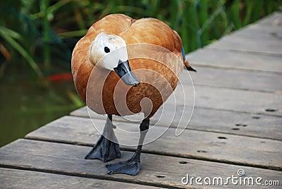 A brown cute duck