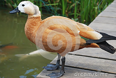 A brown cute duck