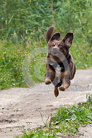 Brown dog is flying
