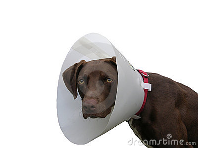 Brown dog with ruff on