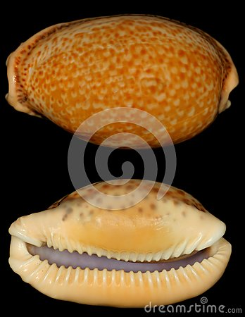 Brown doted snail shell looks like a leopard