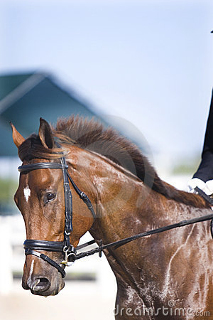 Brown dressage horse portrait