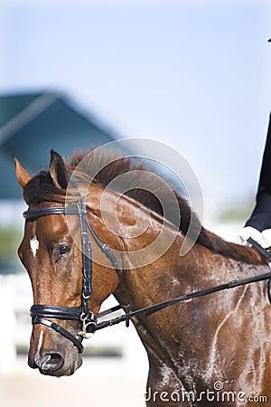 Brown dressage horse portrait