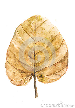 Brown dried leaf on white background Stock Photo
