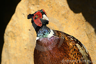 Brown-eared Pheasant