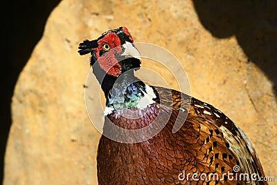 Brown-eared Pheasant
