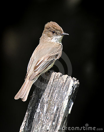 Free Brown Eastern Phoebe Bird On Old Fence Post Royalty Free Stock Image - 6227576