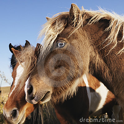 Brown Falabella miniature horses.