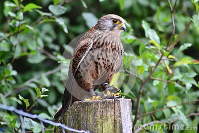 Brown Falcon On Brown Wooden Surface Free Public Domain Cc0 Image