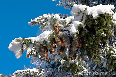 Brown fir cones is on snow-covered fir