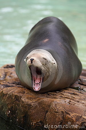 Free Brown Fur Seal Royalty Free Stock Photography - 20136027